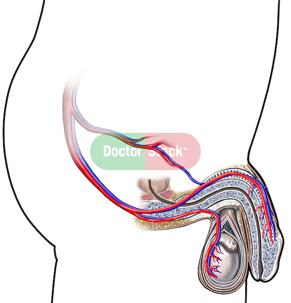 This medical illustration depicts the vasculature of the male genitalia. The male figure is represented by an inked outline. The erectile tissue and testicles are shown in full color. The internal iliac artery, dorsal artery of the penis and perineal artery are included.
