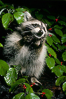 Dramatic raccoon in tree with red berries, Missouri USA