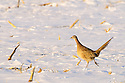 00890-037.10 Ring-necked Pheasant hen pauses while feeding in a snow covered corn stubble field.  Hunt, survive, cold, food, cover.