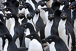 On Paulet Island off the Antarctic Peninsula, Adelie penguins gather in groups numbering into the hundreds. The groups display a reluctance to dive into the frigid water, watching for the leopard seals that patrol the perimeter of the rookeries looking to feed.