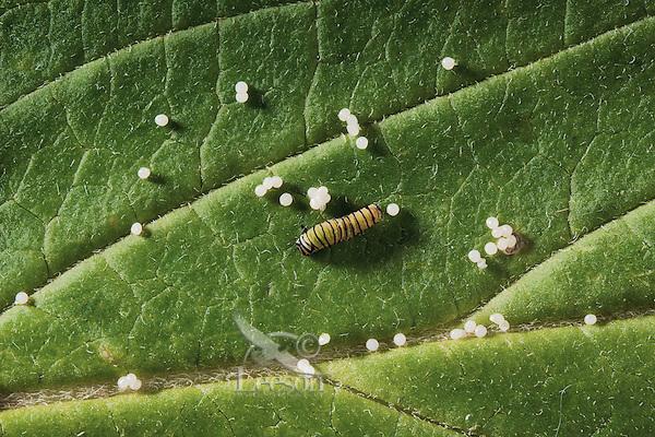 MONARCH BUTTERFLY (Danaus plexippus) eggs and first instar caterpillar on.Milkweed leaves (Asclepias incarnata)..Summer. Nova Scotia, Canada.