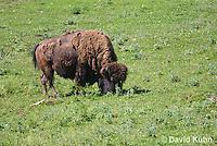 0621-1001  American Bison (American Buffalo), Bison bison  © David Kuhn/Dwight Kuhn Photography