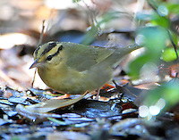 Worm-eating warbler attracted to mister in March