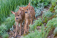 Two Columbian black-tailed deer (Odocoileus hemionus columbianus) fawns.  Pacific Northwest.  Summer.