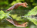 Squirrel goes nuts for an acorn.  Squirrel shows it acrobatic skills by Niki Colemont