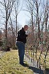 February 12, 2011. Pittsboro, NC.. Mr. Calhoun prunes in his young tree orchard. He has espaliered most of his collection, planting the trees quite close together, trained to wires, and keeping them pruned and at a 45 degree angle, which makes them flower and fruit more efficiently. .Lee Calhoun, 77, has spent over 30 years collecting old southern apple varieties and planting them in his orchard in hopes of sustaining the breeds.