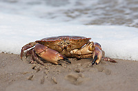 Taschenkrebs, Cancer pagurus, European edible crab