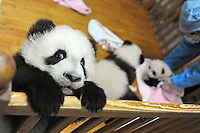 Ya Li and last years other babies  at the Chengdu Giant Panda Breeding and Research Base in Chengdu, China. Dec 2009.  The twins were born to their mother, Li Li, who is 19 years old, and her first babies. .