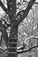 """As the snow falls in Central Texas, it becomes a """"Chilly Proposition"""" to climb this oak.."""