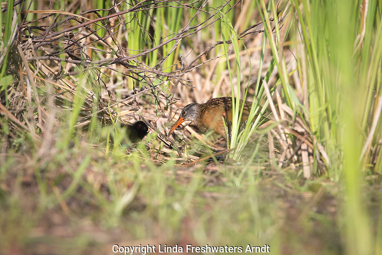 Virginia rail feeding chick
