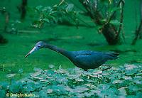 HN06-001z  Little Blue Heron - Louisiana - Egretta caerulea