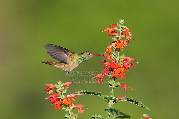 Buff-bellied Hummingbird (Amazilia yucatanenensis), male feeding on Tropical Sage (Salvia coccinea), Sinton, Corpus Christi, Coastal Bend, Texas, USA