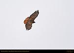 Dark Morph Red-tailed Hawk in Flight, Bosque del Apache Wildlife Refuge, New Mexico