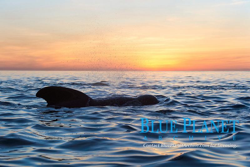 short-finned pilot whale, Globicephala macrorhynchus, Baja California, Mexico, Gulf of California, Sea of Cortez, Pacific Ocean