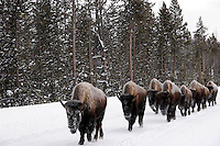 American Bison in winter, Yellowstone National Park, Wyoming.