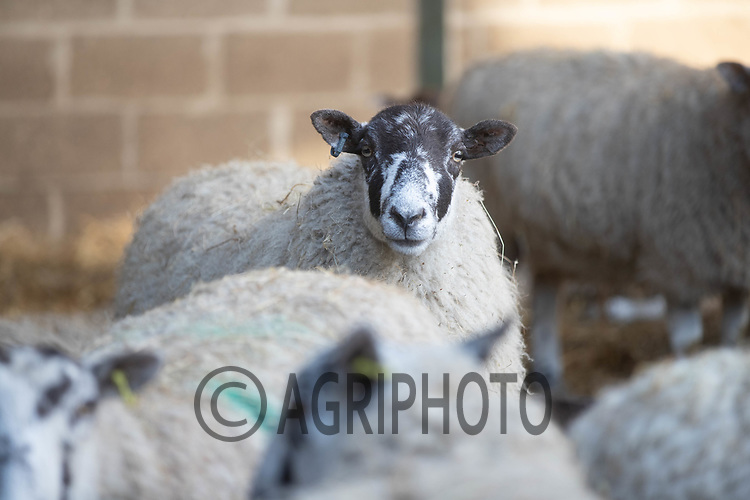 18-2-2021 In lamb ewes in a farmyard<br /> ©Tim Scrivener Photographer 07850 303986<br />      ....Covering Agriculture In The UK....