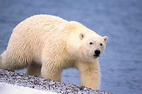 polar bear, Ursus maritimus, walking along the Arctic coast, 1002 area of the Arctic National Wildlife Refuge, Alaska, polar bear, Ursus maritimus