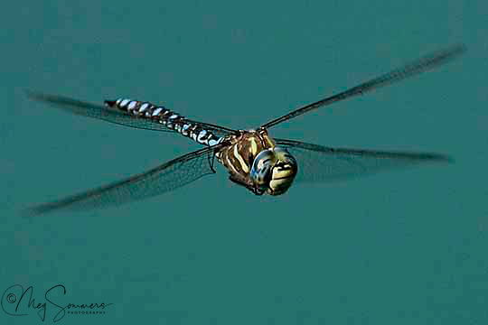 The Blue-eyed Darner (Aeshna multicolor) is a voracious predator for its size.  This dragonfly will eat almost any soft-bodied flying insect including mosquitoes, flies, butterflies, moths, mayflies, and stoneflies. You can find them in Yellowstone near lakes, ponds, and marshes at lower elevations.
