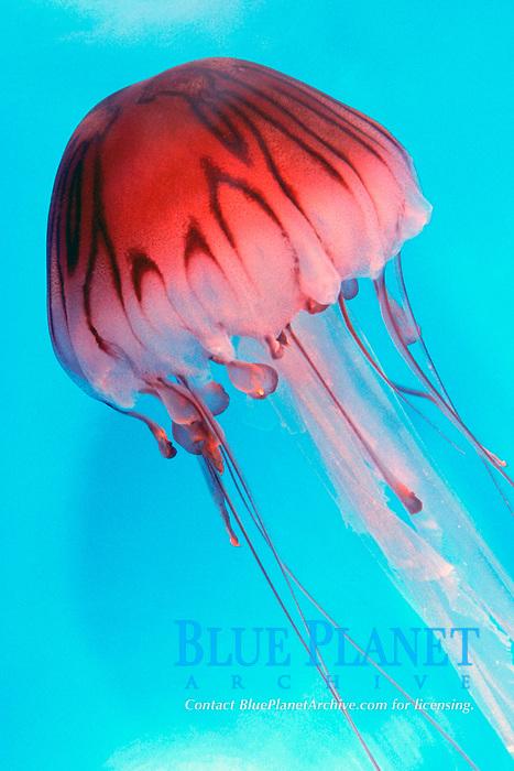 purple striped jelly or purple striped jellyfish (c), Pelagia colorata, California, East Pacific Ocean
