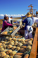 Pineapple field workers load freshly picked fruit into a truck for transport to the cannery in West Maui.