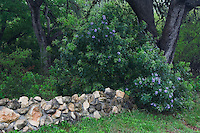 Rock wall with Texas Mountain Laurel (Sophora secundiflora), Comal County, Hill Country, Texas, USA, March 2007
