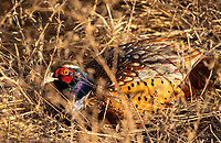 Ring-necked Pheasant, Phasianus colchicus, at Sacramento National Wildlife Refuge, California