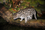 Adult Fishing Cat (Prionailurus viverrinus) hunting by water at night. From India and S.E. Asia. Photographed in captivity at Singapore Zoo.