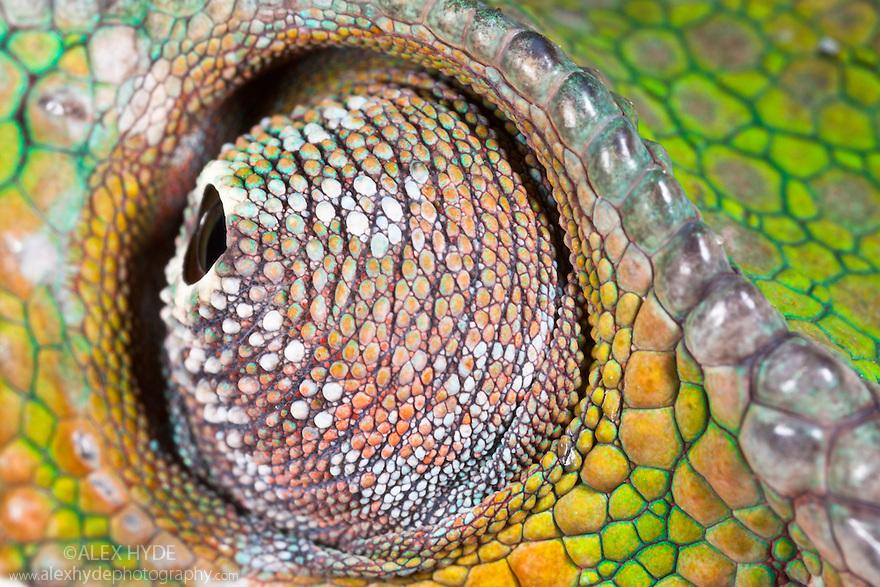 Panther Chameleon {Furcifer pardalis} close-up of eye swivelling in socket. Masoala Peninsula National Park, north east Madagascar. SEQUENCE 1 OF 3