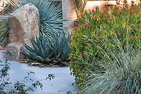 Dasylirion, Sharkskin Agave, Justicia, and Muhlenbergia grass in The Living Desert Garden, Palm Springs, California.
