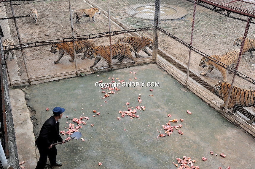 Feeding time for tigers in  cages at the Xiongshen Tiger and Bear Park in Guilin China. The park has farmed 1500 tigers and sells an illegal tiger bone wine to tourists that visit the park.