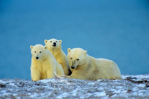 Polar Bear mother and cubs (Ursus Maritimus), Arctic National Wildlife Refuge, Alaska.