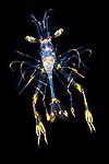 Shrimp Hippolytid larva, Black Water Diving; Jellyfish; Plankton; larval crustaceans; larval fish; marine behavior; pelagic creatures; pelagic larval marine life; plankton creatures; underwater marine life; vertical migration marine creatures