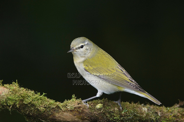 Tennessee Warbler, Vermivora peregrina, adult perched, Central Valley, Costa Rica, Central America, December 2006