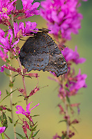 Tagpfauenauge, Blütenbesuch, Nektarsuche, Tag-Pfauenauge, Flügel-Unterseite, Aglais io, Inachis io, Nymphalis io, peacock moth, peacock