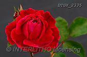 Gisela, FLOWERS, BLUMEN, FLORES, photos+++++,DTGK2335,#F#, EVERYDAY
