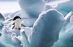 Adelie penguins, Paulet Island, Antarctica