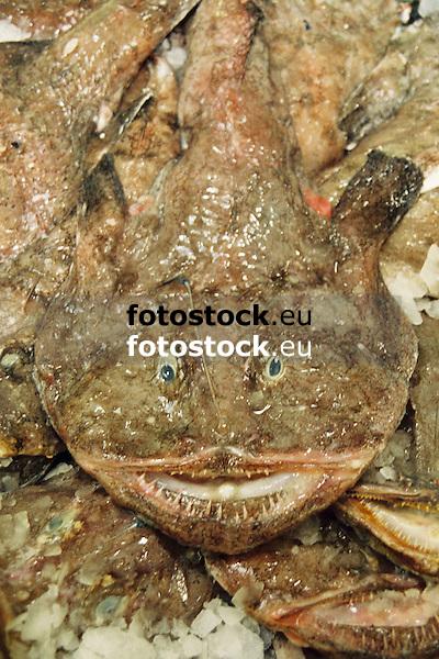 angler-fish<br /> <br /> Rape<br /> <br /> Seeteufel<br /> <br /> 3360 x 2240 px<br /> Original: 35 mm