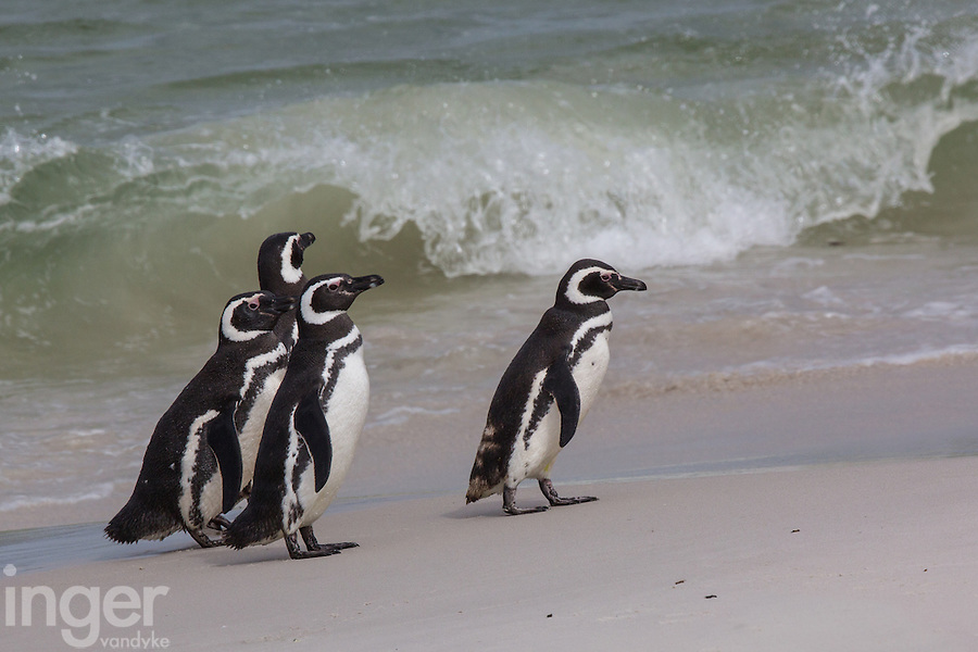 Magellanic Penguins on Carcass Island, the Falkland Islands
