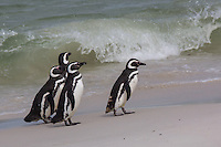 Magellanic Penguins on Carcass Island, the Falkland Islands