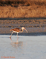 0111-0989  Immature White Ibis Wading in Water Hunting for Prey, Eudocimus albus  © David Kuhn/Dwight Kuhn Photography.