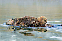 Sea Otters (Enhydra lutris)--pup is nursing while mom is grooming/cleaning pup's tail.