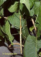 OR07-564z   Northern Walking Stick Diapheromera femorata.