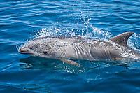common bottlenose dolphin, Tursiops truncatus, porpoising, San Diego, California, USA, Pacific Ocean