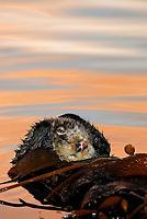 Southern sea otter, Enhydra lutris nereis, resting in kelp, female, reflection, sunset, dusk, vertical, Monterey, California, USA, pacific ocean, national marine sanctuary, endangered species