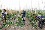 Foto: VidiPhoto<br /> <br /> RANDWIJK – Met enkele vakantiewerkers is de jonge boomkweker Roy Wennekes (m) van RW Green uit Heteren donderdag aan het 'tangen' op zijn perceel in Randwijk (Betuwe). Met een speedotang wordt het jonge boompje met elastiek vastgemaakt aan een bamboestok om de groei te begeleiden. Boomkwekers moeten nu flink aanpoten om de enorme groei van de bomen bij te houden. Dankzij de overvloedige regenval groeien bomen, maar ook het onkruid, als kool. Vorig jaar rond deze tijd was het kurkdroog en moesten boomkwekers hun gewassen beregenen om te voorkomen dat alles dood ging. RW Green bestaat pas drie jaar en verzorgt de opkweek van 50 soorten bomen voor de grotere kwekers in de regio.