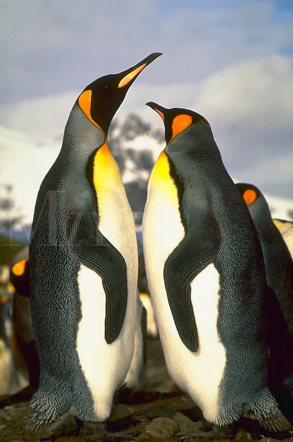 King penguins standing facing each other at Bay of Islands, South Georgia Island, Subantarctic.