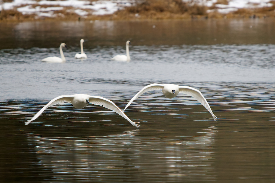Trumpeter swans (Cygnus buccinator) taking flight from Shadow Lake, Snohomish, Washington, USA