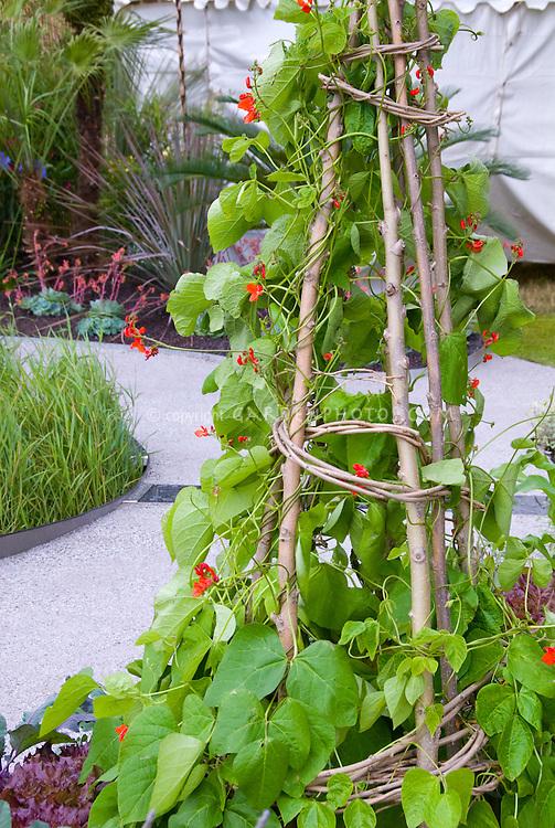 Scarlet runner beans in flower on vegetable support trellis of homemade willow poles