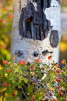 Wild rose hips with aspen, Capitol Peak trailhead.<br /> <br /> Canon EOS 5D Mk II, 70-200 f/2.8L lens