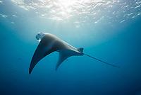 reef manta ray, Mobula alfredi, feeding on plankton, German Channel, Palau, Micronesia, Pacific Ocean